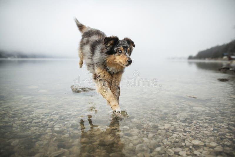 澳大利亚牧羊人通过湖跑 在令人惊讶的风景的美丽的狗 免版税库存照片