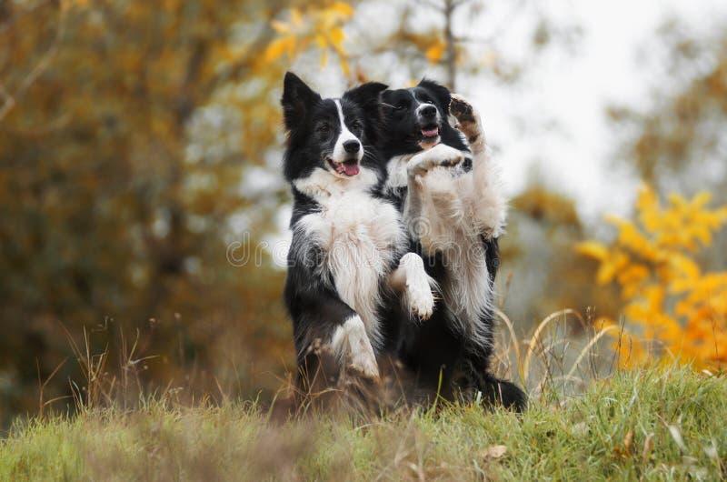 澳大利亚狗牧羊人 图库摄影