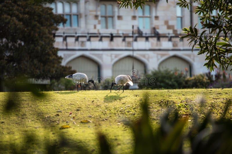 澳大利亚白色朱鹭 免版税库存照片