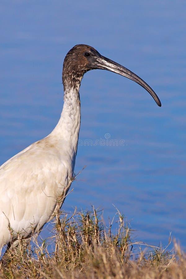 澳大利亚白色朱鹭 库存图片