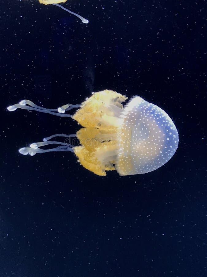 澳大利亚白色被察觉的水母 免版税库存照片