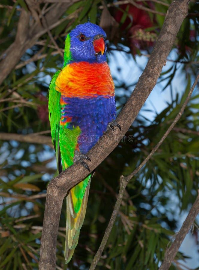 从澳大利亚的Lorikeet 库存图片