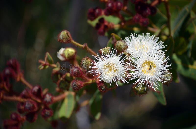 澳大利亚矮人苹果计算机开花Angophora hispida 库存图片