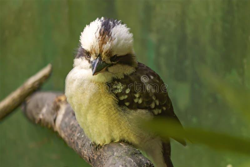 澳大利亚笑的Kookaburra的特写镜头 免版税库存照片