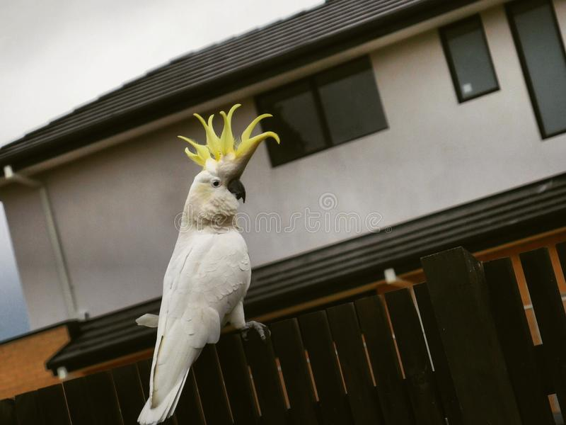 澳大利亚美冠鹦鹉 免版税库存照片