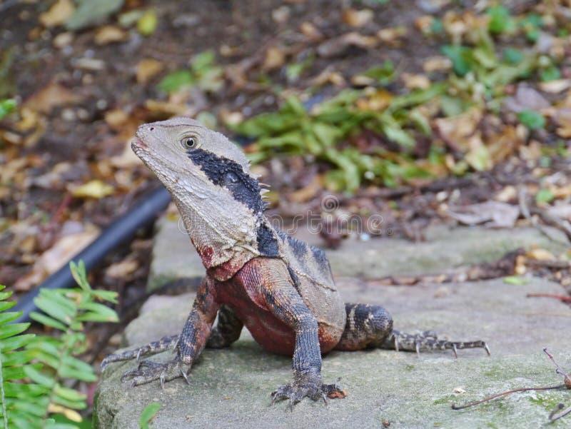 澳大利亚蜥蜴在庭院里 库存照片