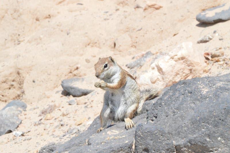 澳大利亚裔在科斯塔Calma的预科生的灰鼠吃一个花生 2013?7?3? 科斯塔Calma,费埃特文图拉岛,加那利群岛, 库存图片