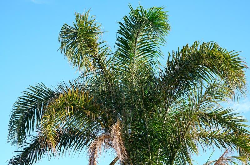 澳大利亚金黄藤茎棕榈树叶状体 免版税库存照片