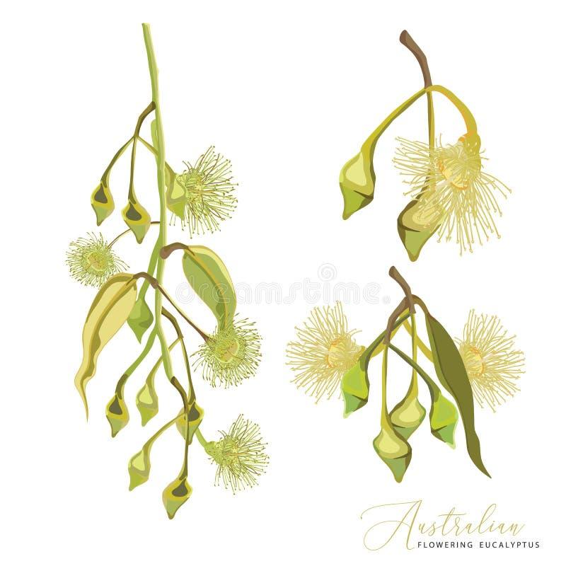 澳大利亚黄色开花的gumtree花 皇族释放例证