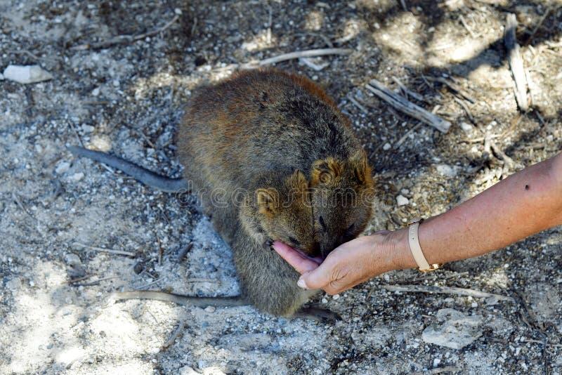 澳大利亚,动物学, Quokka哺养 免版税图库摄影