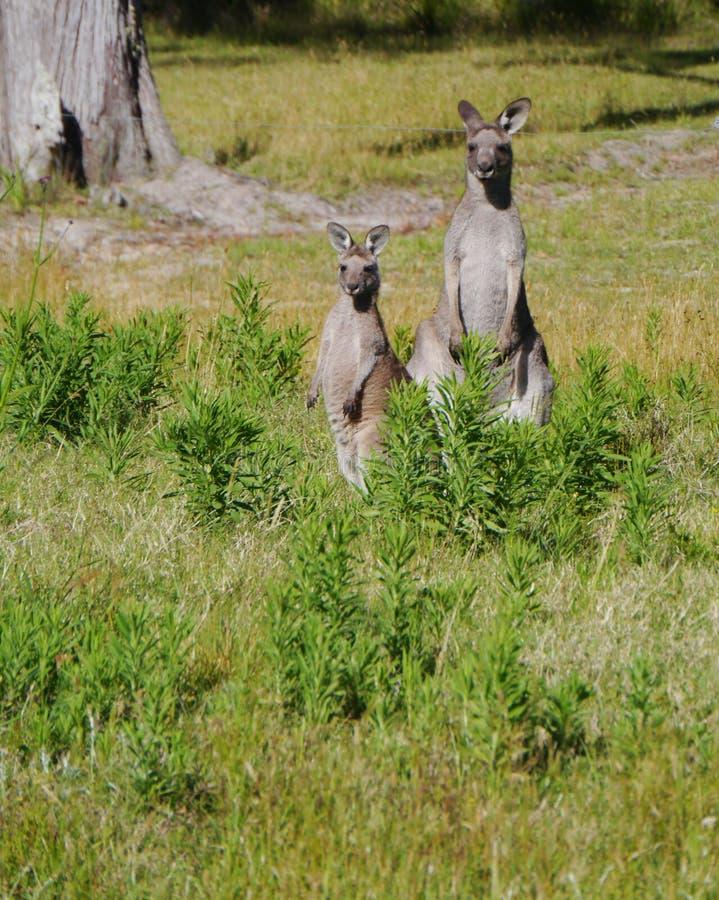 澳大利亚Kangoroo夫妇 免版税库存图片