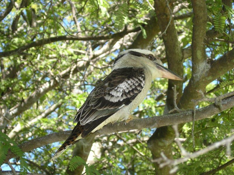 Download 澳大利亚kookaburra 库存照片. 图片 包括有 动物区系, 野生生物, 双翼飞机, 鸟舍, 本质, 结构树 - 50146