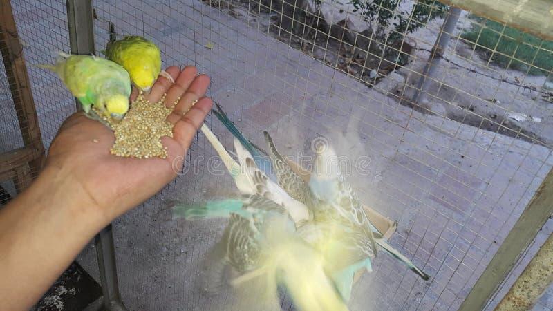 澳大利亚perrots 免版税库存图片