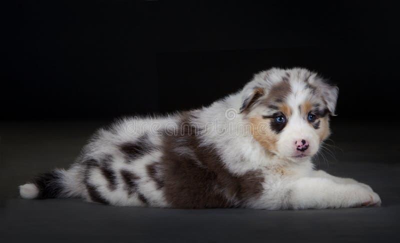 澳大利亚sheepherd狗 免版税库存图片