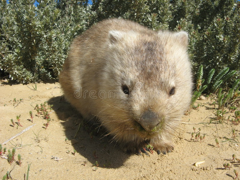澳大利亚wombat 免版税库存图片