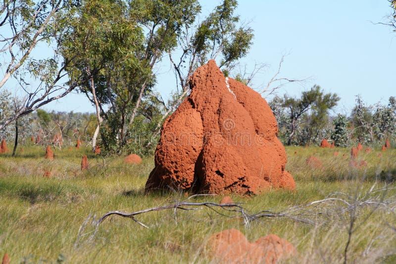 澳洲小山白蚁 库存照片