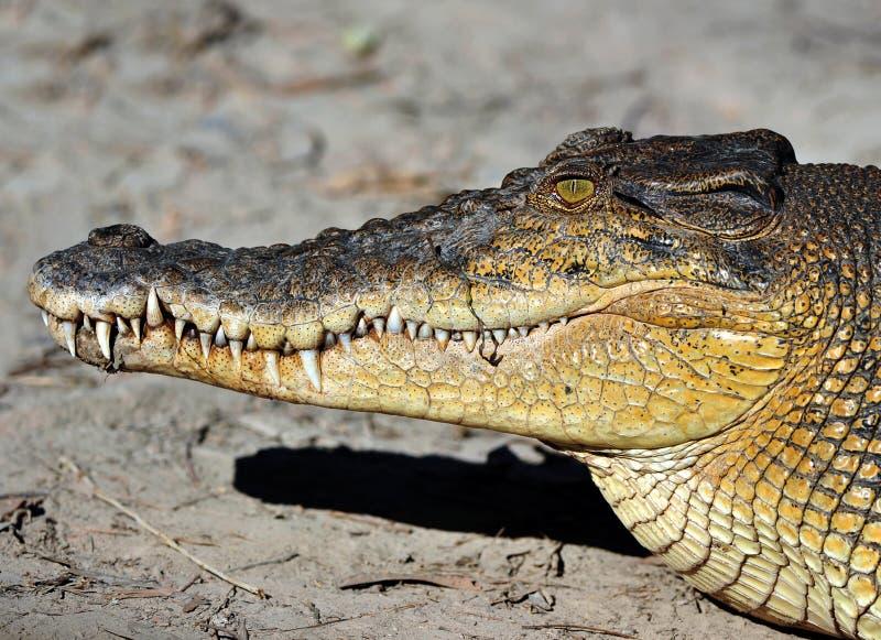 澳洲接近的鳄鱼昆士兰盐水 免版税库存照片