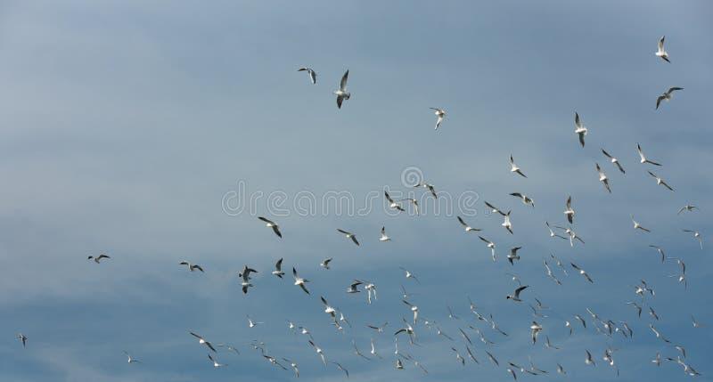 澳洲海岸飞行mooloolaba昆士兰被采取的海鸥阳光 免版税库存照片