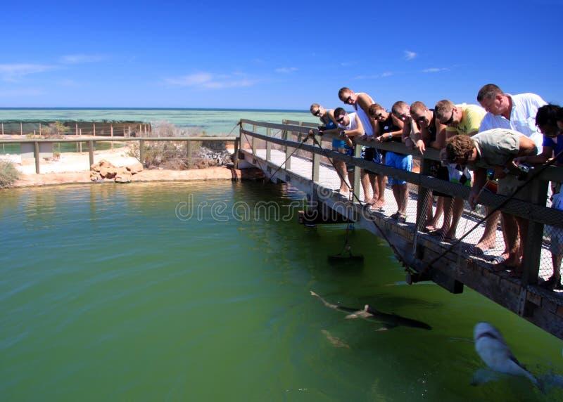 澳洲海湾海洋西部公园的鲨鱼 免版税图库摄影