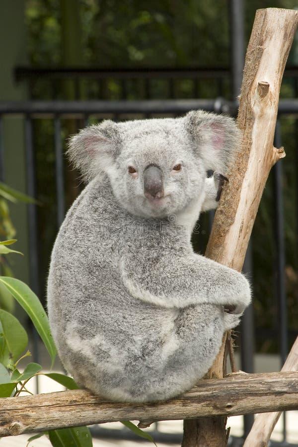 澳洲熊逗人喜爱的考拉动物园 库存照片