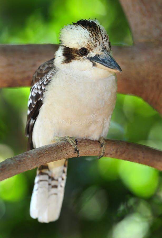 澳洲翠鸟kookaburra笑mackay 免版税库存照片