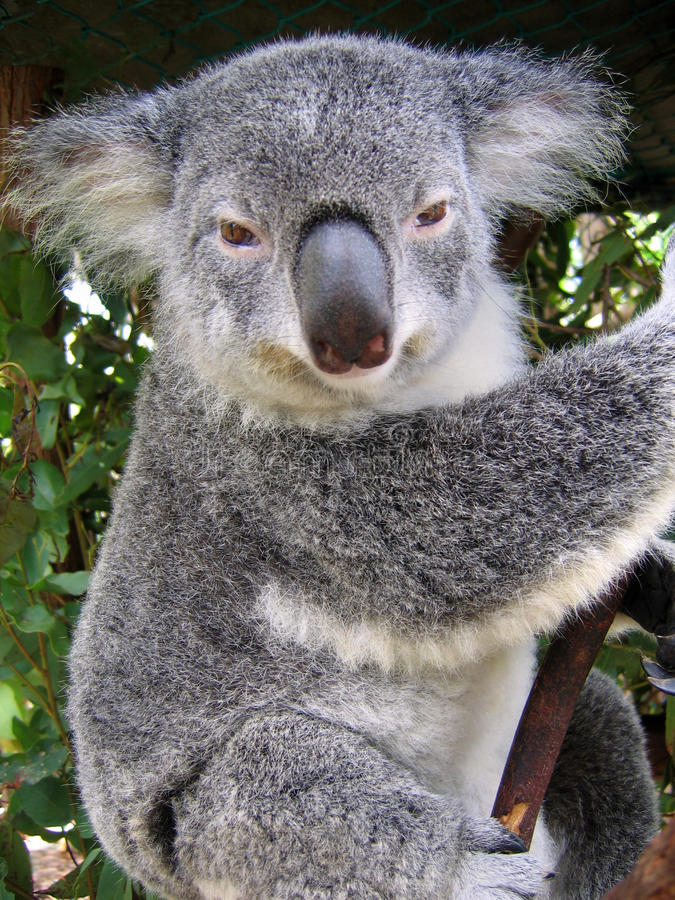 澳洲考拉 库存图片