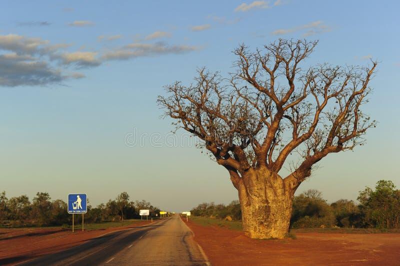 澳洲西部boab的结构树 免版税库存图片
