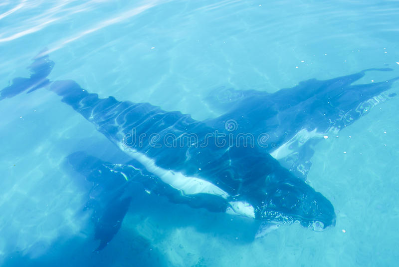 澳洲驼背鲸 库存图片