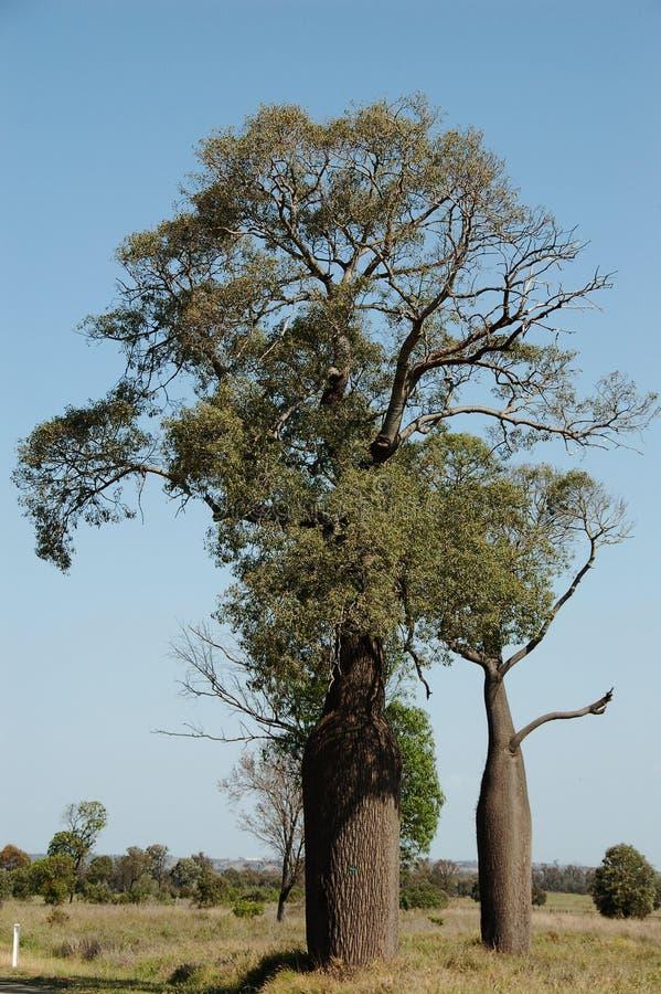 澳洲boab结构树 库存照片