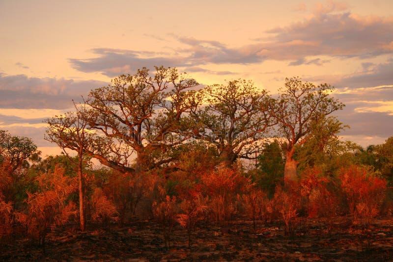 澳洲boab金伯利结构树 免版税库存照片
