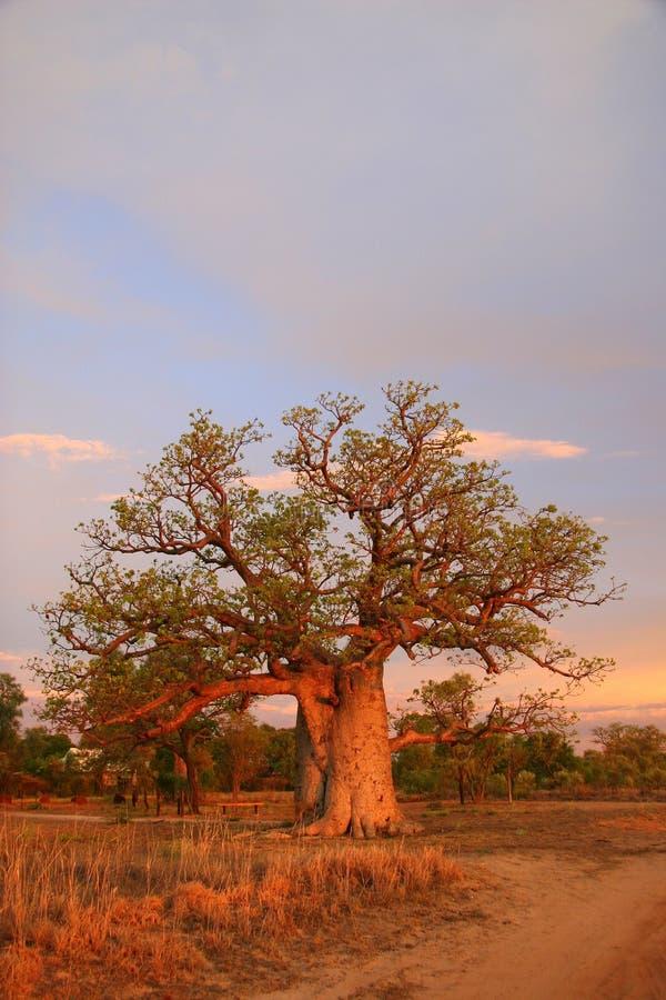 澳洲boab金伯利结构树 库存照片