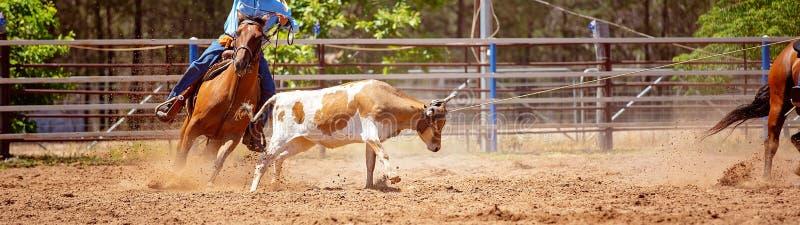 澳队小牛系住的圈地事件 免版税库存图片