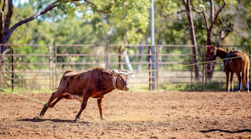 澳队小牛绕绳在国家圈地 库存图片