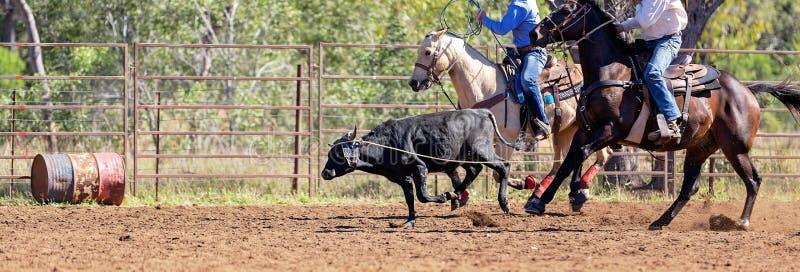 澳队小牛绕绳在国家圈地 免版税库存照片