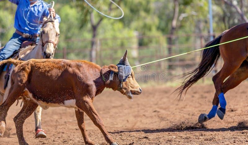 澳队小牛绕绳在国家圈地 图库摄影