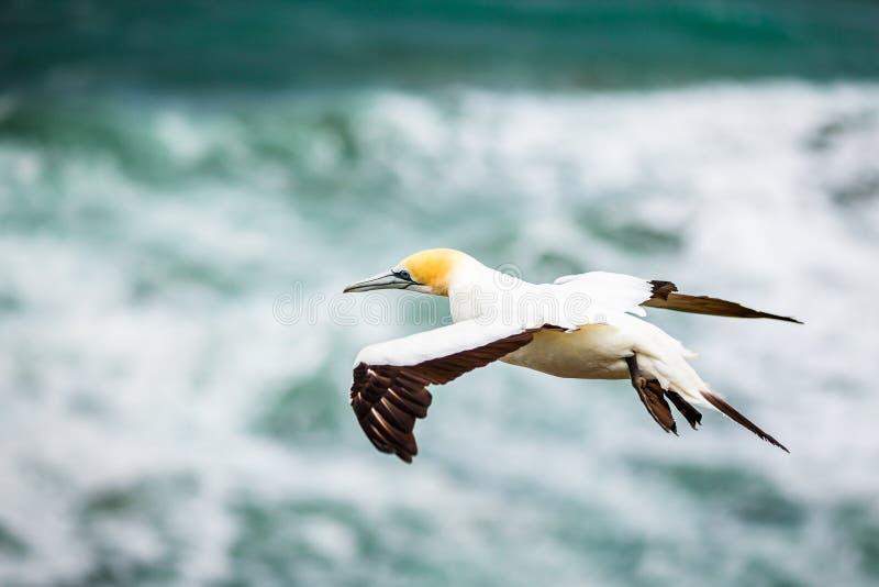 澳洲Gannet, Muriwai海滩 库存图片
