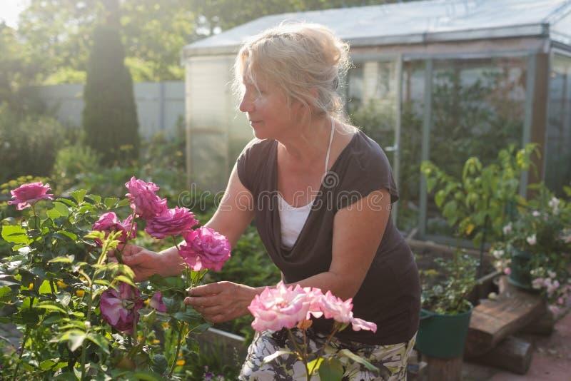 激动的成熟白种人女性花匠关心的开花的灌木玫瑰在围场 库存图片