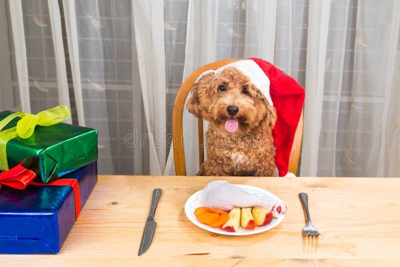 激动的狗的概念在食用圣诞老人的帽子的可口生肉Ch 库存图片