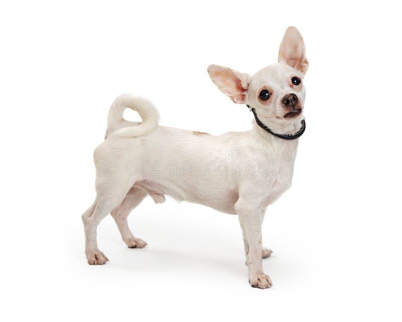 激动的白色奇瓦瓦狗狗身分边 免版税库存图片
