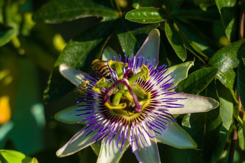 激情花西番莲反对绿色庭院背景的caerulea西番莲 皇族释放例证