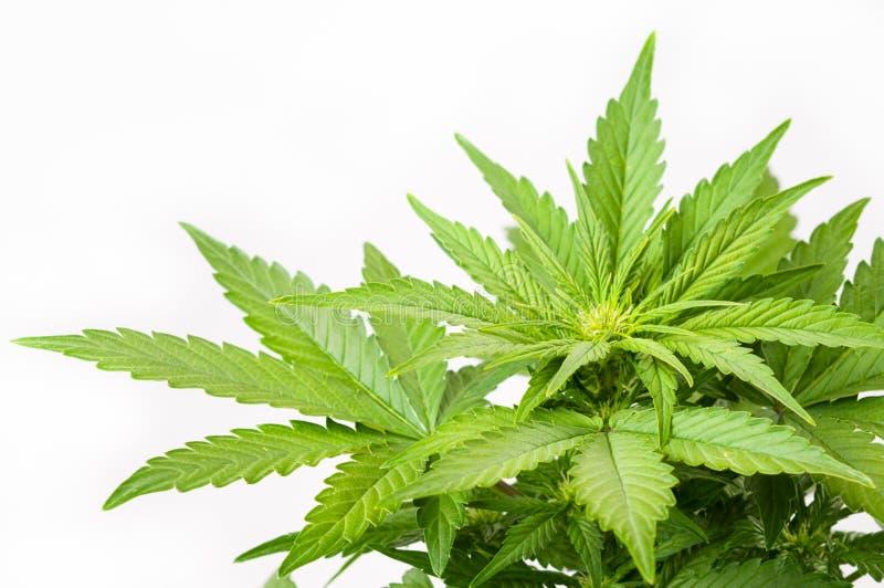 灌木大麻 免版税库存照片