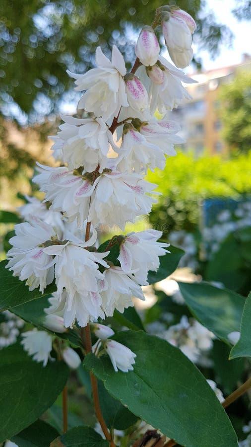 灌木开花白色 免版税库存图片