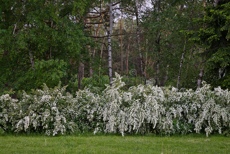 灌木开花的绣线菊类的植物 免版税库存照片
