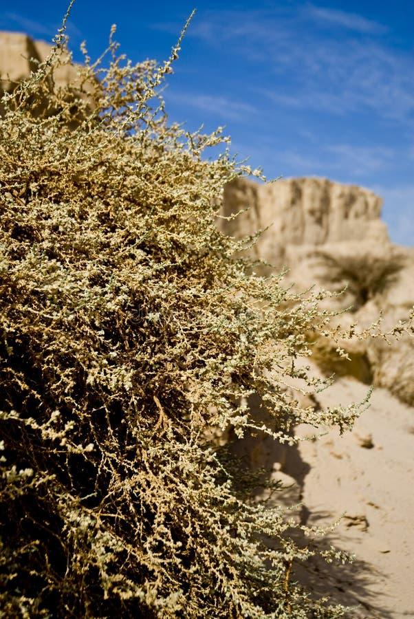 灌木沙漠 免版税图库摄影
