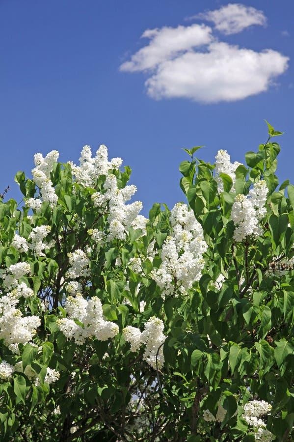 灌木淡紫色白色 免版税库存图片