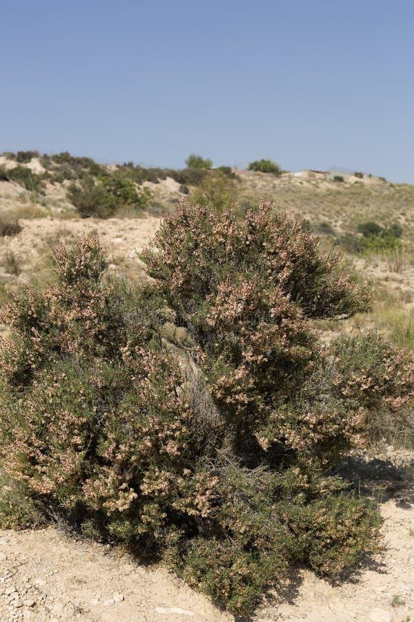 灌木用埃尔切的市政期限 免版税库存照片