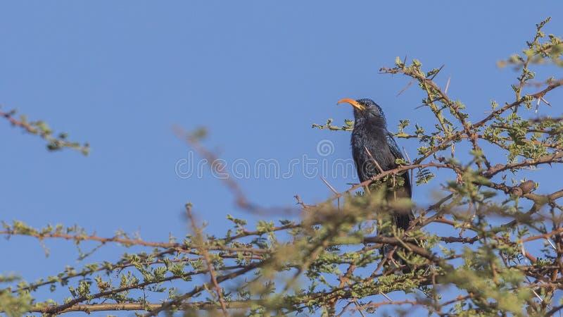 灌木的埃塞俄比亚人Scimitarbill 免版税图库摄影