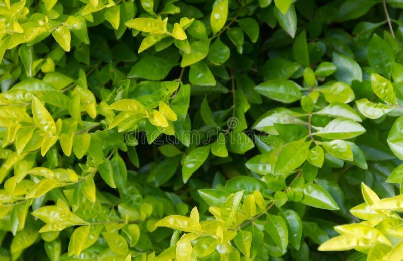 灌木的绿色和黄色叶子背景  免版税图库摄影