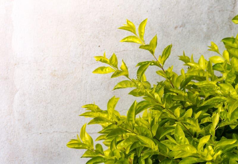灌木的绿色和黄色叶子背景  库存照片