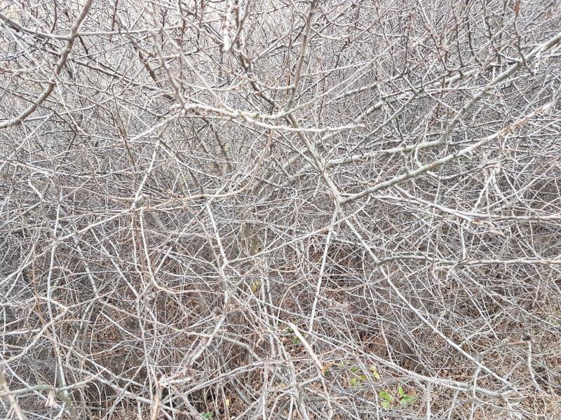 灌木聋丛林  灰色干燥分支纹理和背景  木头不通的贫民窟  自然操刀 免版税库存照片